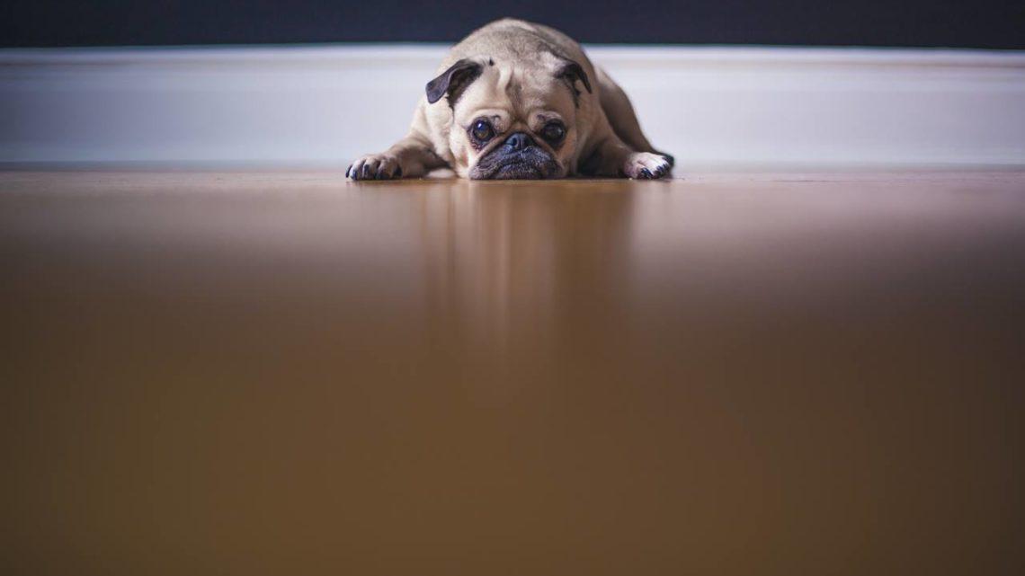 Nie kupuj mnie, czyli dlaczego psy brachycefaliczne nie są dobrym wyborem?